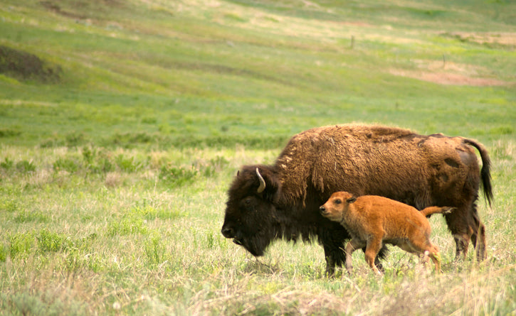 Buffalo Cow with Calf