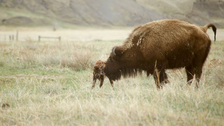 Buffalo Calf & Cow