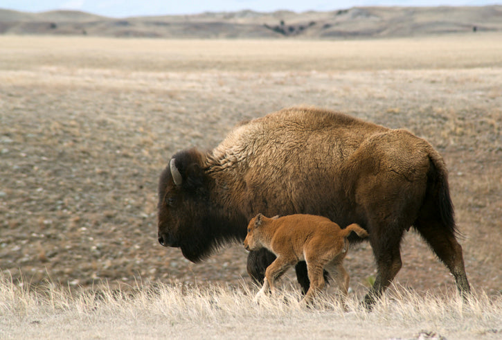 New Bison Calf walking