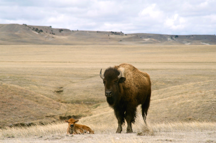 Bison Calf & Mother