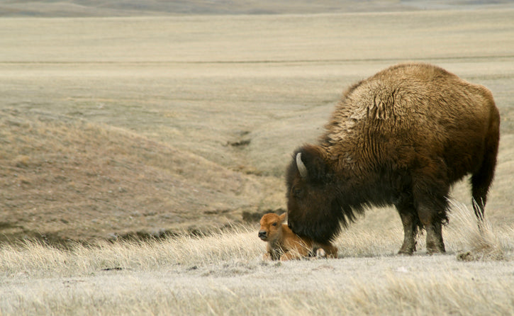Buffalo Calf & Mother