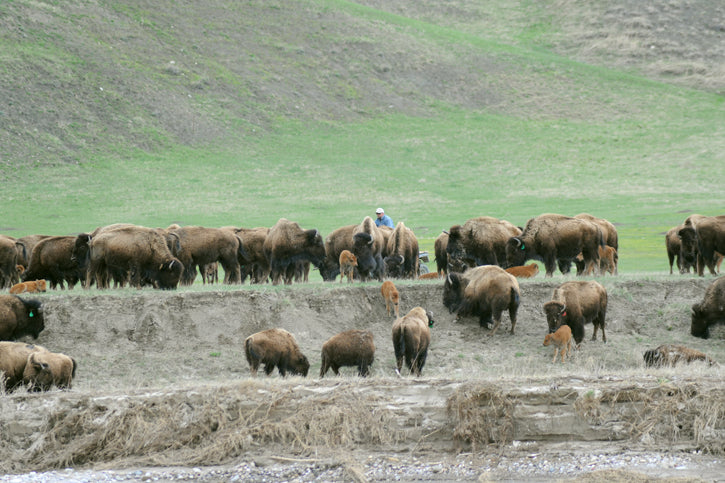 Buffalo on the cheyenne River