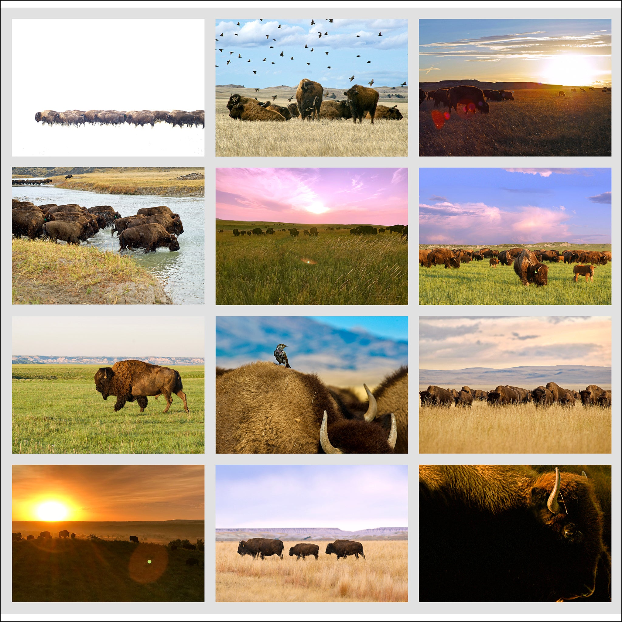 Bison Occasional Cards