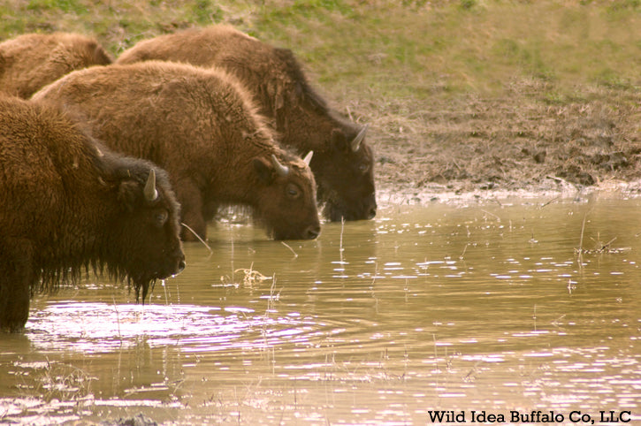 Buffalo drinking at pond