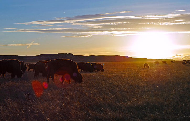 Bison Herd in Sun Rays