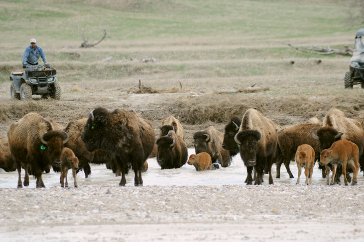 Buffalo at River Crossing