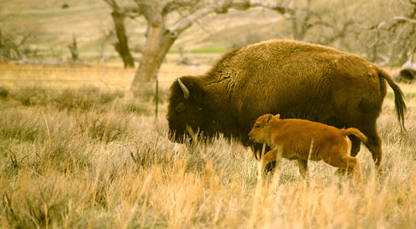 New Buffalo Calf and Mother