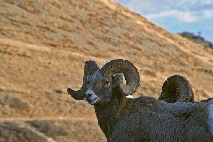 Big Horn Sheep, Rocky Mountain Front, David Letterman