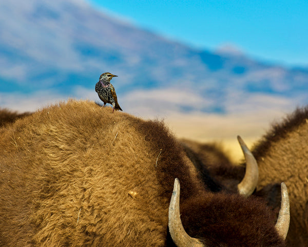 Starling On Bison