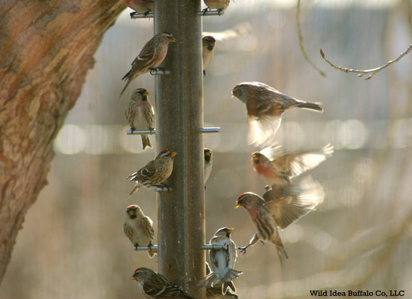 Red Poles and Finches