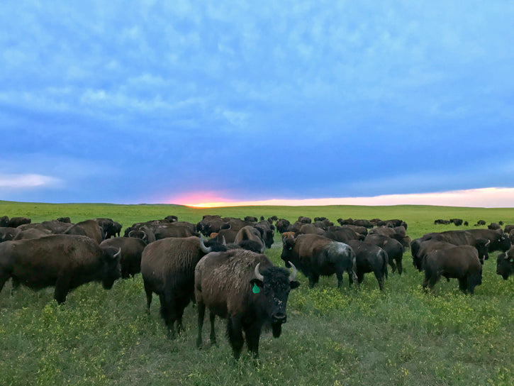 Bison Herd at Sunset