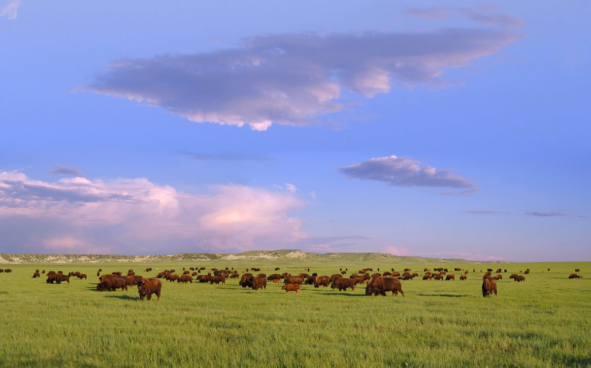 Sustainably raised buffalo