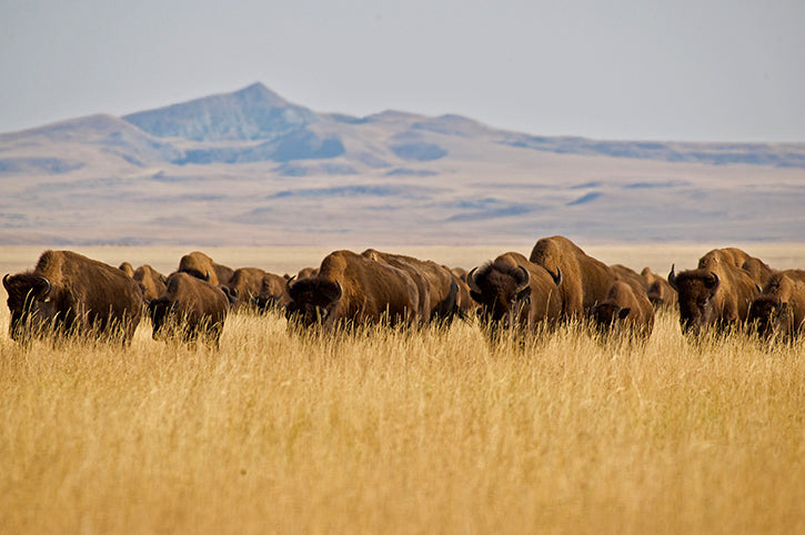 bison in tall prairie grass in fall