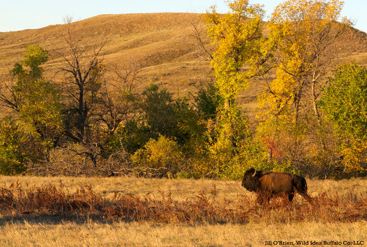 Bison Bull in Fall