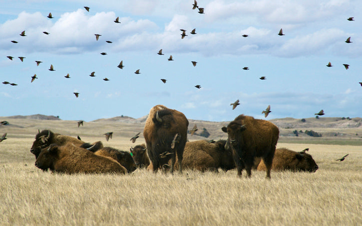 Buffalo with Buffalo Birds