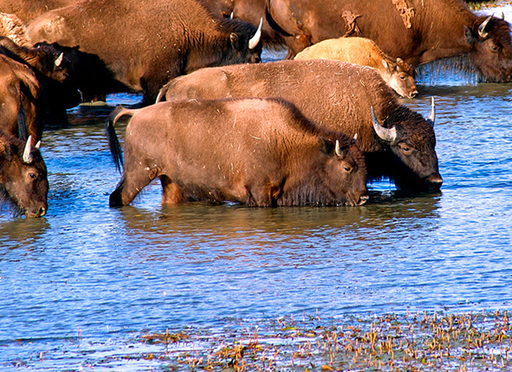Bison Watering