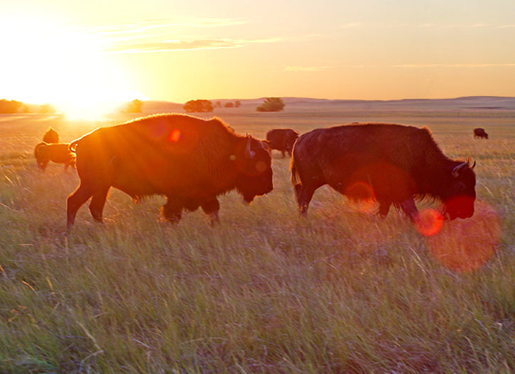 Bull & Cow Bison Rut Sunset
