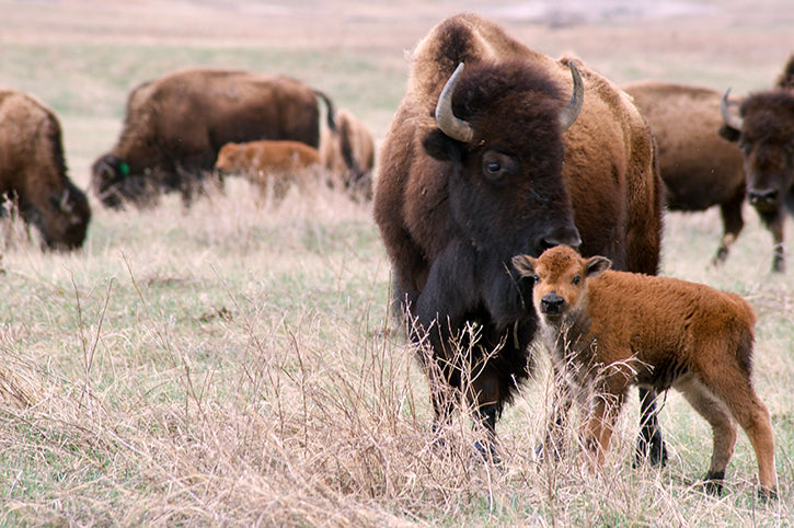 Bison Calf & Cow