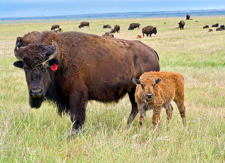 Bison Cow & Calf
