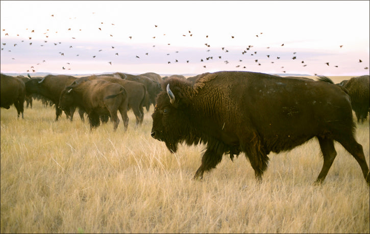 Buffalo with Birds