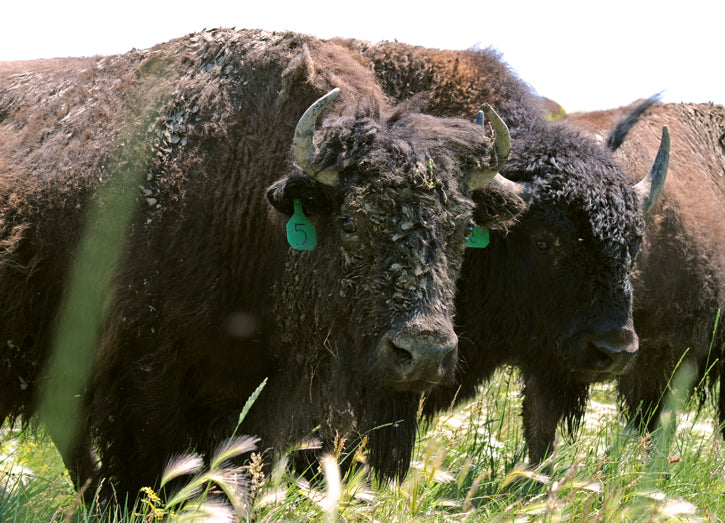 Bison Cow & Bull