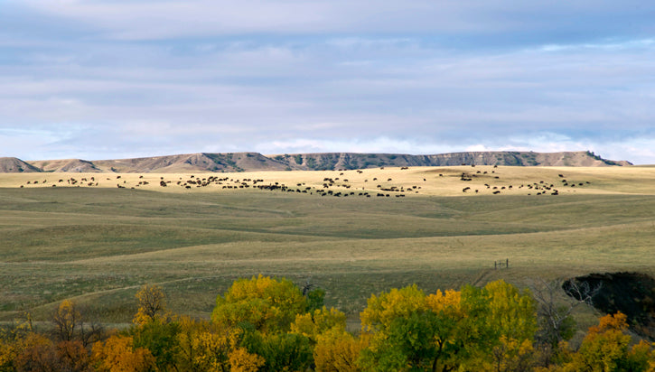 Bison Herd Fall