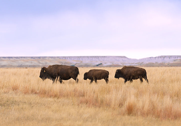 Bison Family Group