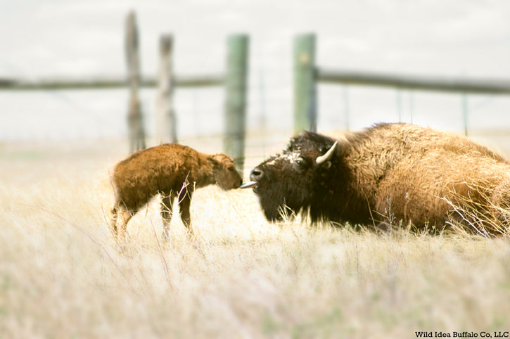 Baby Bison Calf with Mother