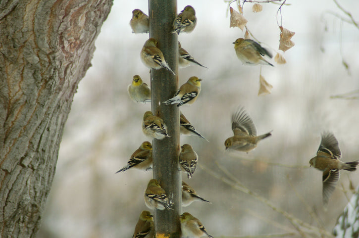 Gold Finches in winter