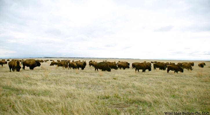 Wild idea Bison Herd