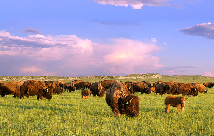 Bison Herd Summer