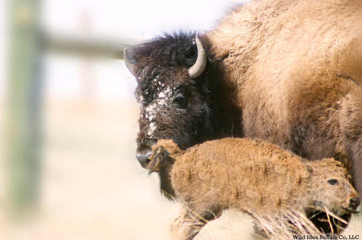 Bison Cow with New Born Calf