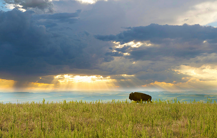Bison Bull in Rays