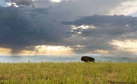 Lone Buffalo Bull on Prairie