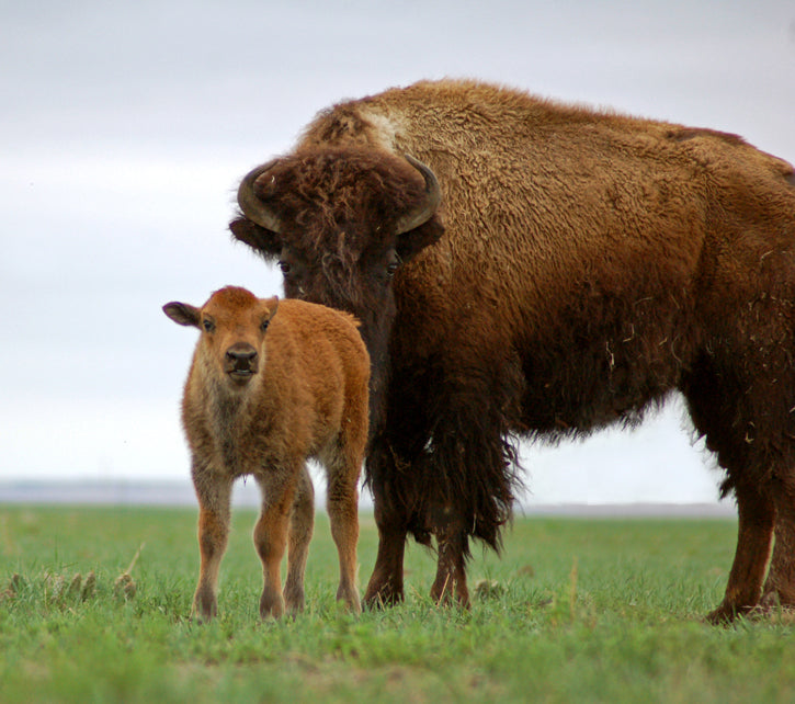 Baby Buffalo with Cow