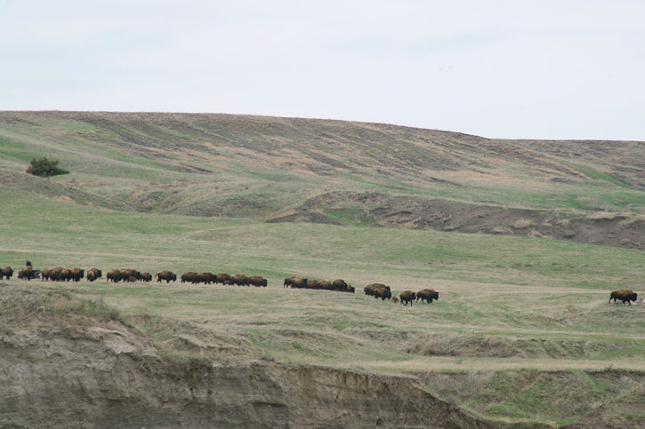 Moving Bison
