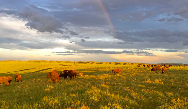 Bison Herd with Rainbows