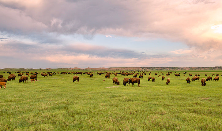 Bison Herd Wild Idea Buffalo Co