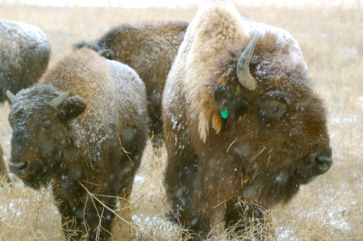 Buffalo Calf with Mother Winter