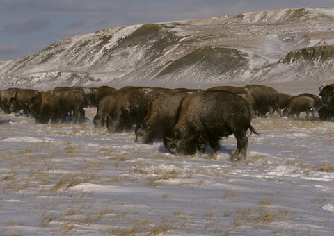 Buffalo eating in snow