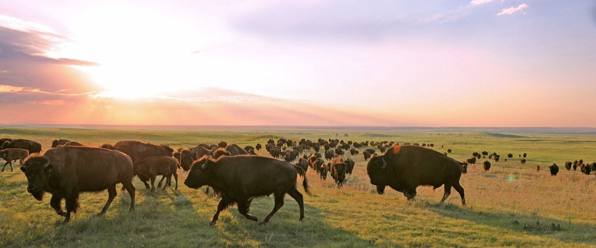 REGENERATING THE PRAIRIE BY BRINGING BACK THE BUFFALO