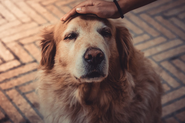Hand petting older golden retriever dog