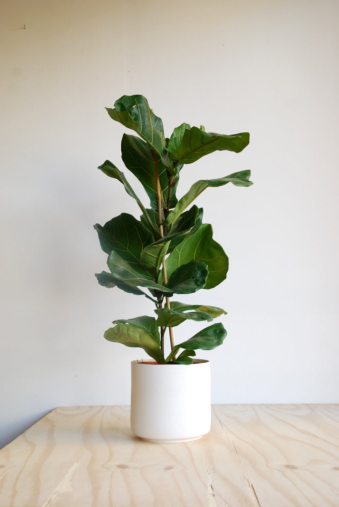 Major Moli Fibreglass Planter