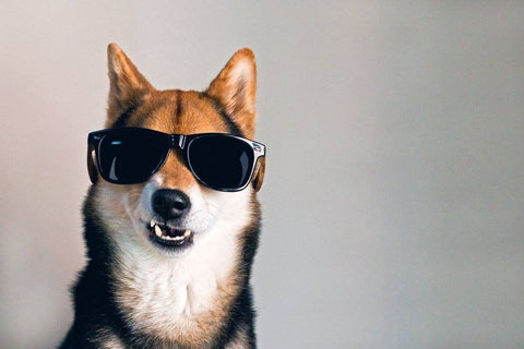 woodies sunglasses dog