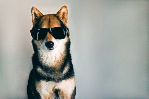 wood sunglasses dog