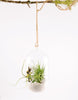Encapsulate Tillandsia Terrarium