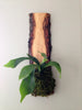 Live-Edge Hardwood Planter - Staghorn Fern