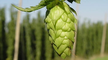 Part 1: Hops – Those Curious Little Creatures