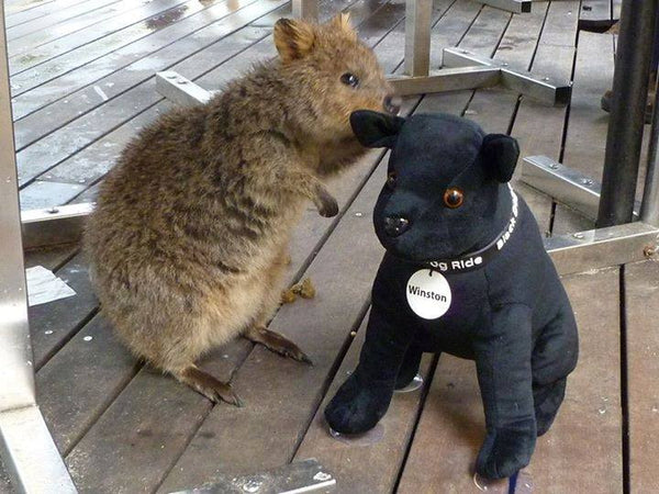 Black Dog Ride Mascot Winston visits with a Quokka on Rottnest Island