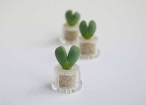 Sweetheart live necklace plants terrarium